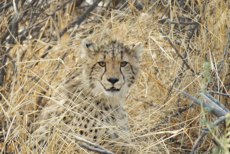 cheetah, cheetah photos, Botswana wildlife, cheetahs in Botswana, cheetah cubs, cheetah cub photos, Okavango Delta, cheetahs in the Okavango Delta, Santawani Private Concession