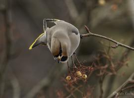waxwing, waxwing photos, birding in England, birding in Lancashire