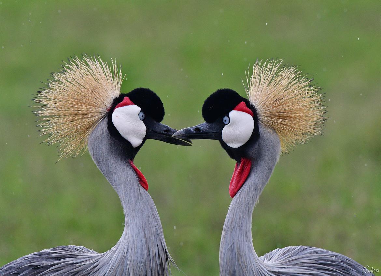 grey crowned crane, grey crowned crane photos, crowned crane, crowned crane photos, crowned crane in Kenya, Kenya wildlife, Kenya wildlife photos, Kenya safari, africa bird, Kenya birds, sweetwaters game reserve