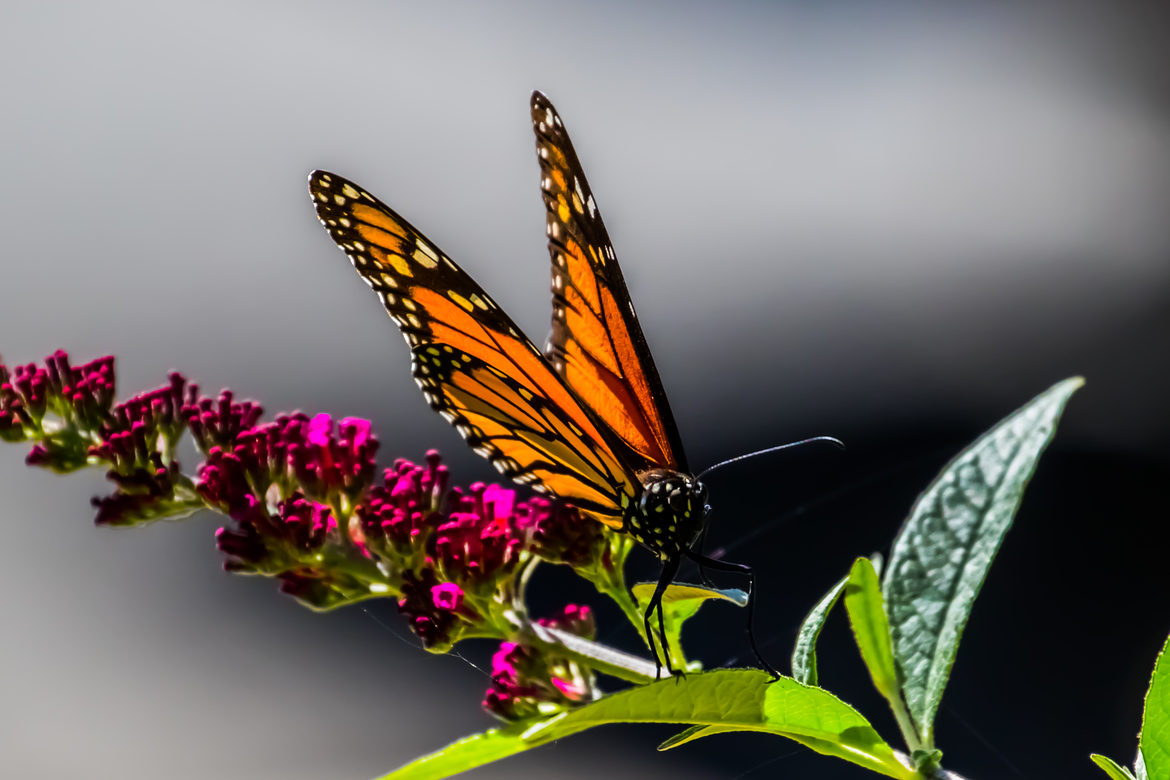 Butterfly, Monarch Butterfly, Butterflies, Monarch Butterflies, California, Photos of Butterflies, Monarch Butterfly Images