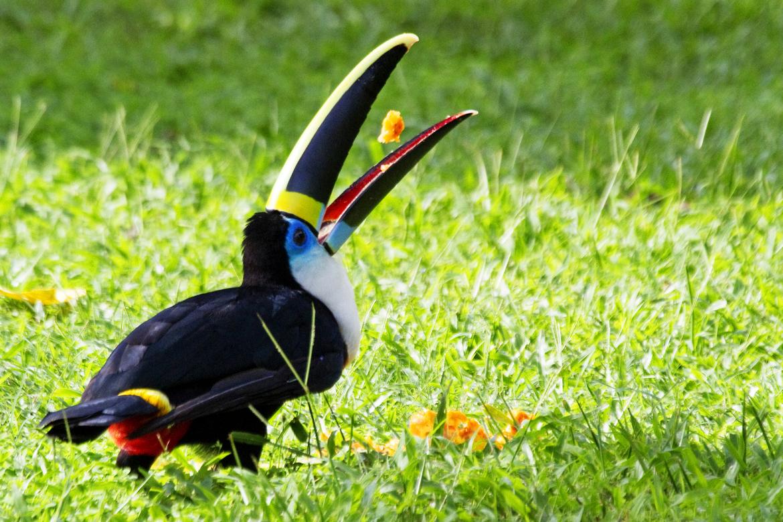 Toucan, Amazon, South America wildlife, Amazon wildlife, Amazon birds, South America birds, bird photography, toucan photography, South American photography, Amazon photography, Amazon images, toucan images