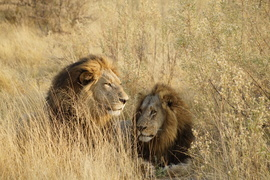 Lion, Lions, Botswana, Photos of Lions, Lion Images, Okavango Delta, Moremi Game Reserve
