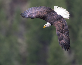 bald eagle, bald eagle photos, bald eagle images, united states wildlife, american wildlife photos, american birds, birds in the united states, bald eagles in america, America's national bird, birding in Washington, Washington wildlife