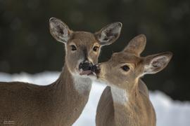 deer, deer photos, white-tailed deer, white-tailed deer photos, doe, white-tailed does, deer in Washington, wildlife in Washington