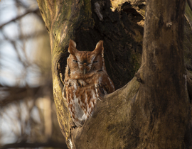 owl, owl photos, screech owl, screech owl photos, eastern screech owl, red-phase eastern screech owl, birds in illinois, birds in the US, owls in illinois, owls in the US