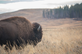 bison, bison photos, bison images, buffalo, buffalo photos, buffalo images, yellowstone wildlife, yellowstone wildlife images, united states wildlife