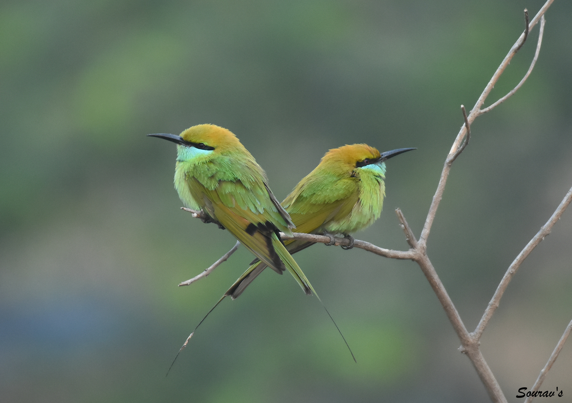 green bee-eater, green bee-eater photos, bee-eaters in India, India birding, birding in India, Telangana, green bee-eaters in India