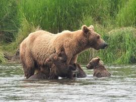 brown bear, grizzly bear, brown bear photos, bear cub, bear cub photos, brown bear cubs, grizzly cubs, grizzly bear images, Katmai National Park, Katmai National Park wildlife, united states wildlife photos, Alaska wildlife, Alaska bears, Brooks Camp