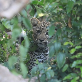 leopard, leopard photos, leopard cub, leopard cub photos, leopard images, Kneya wildlife, Kenya wildlife photos, Kenya safari, Kenya safari photos, african safari photos, leopards in africa, leopards in Kenya, Maasai Mara, Maasai Mara wildlife