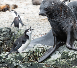 Grid jr chinstrap arguing with seal