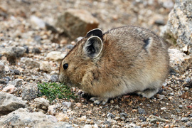 Pika, Pikas, Colorado, Rocky Mountain National Park, Ochotona Princepts, Images of Pikas Pika Photos