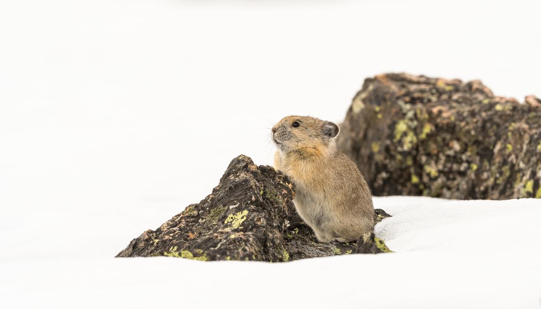 pika, pika photos, pikas in Colorado, picas in Rocky Mountain National Park, Rocky Mountain National Park, wildlife in Rocky Mountain National Park
