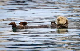 sea otter, sea otter photos, sea otter images, Alaska sea otter, Alaska wildlife, Alaska marine life, Homer