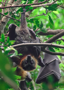 Flying Fox, Birding , Flying Foxes, Australia, Images of Flying Foxes, Flying Fox Photos