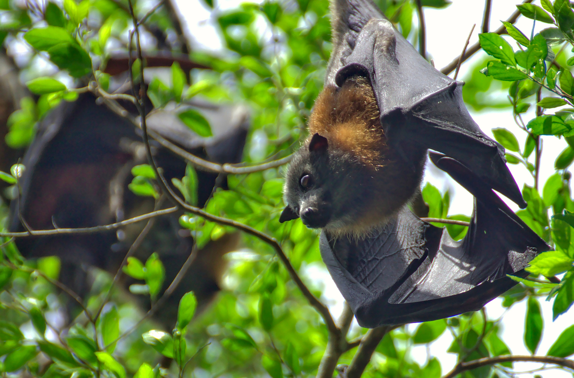 flying fox, flying fox photos, Australia wildlife, bats, bat photos, bats in Australia