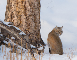 Grid bobcat in yellowstone