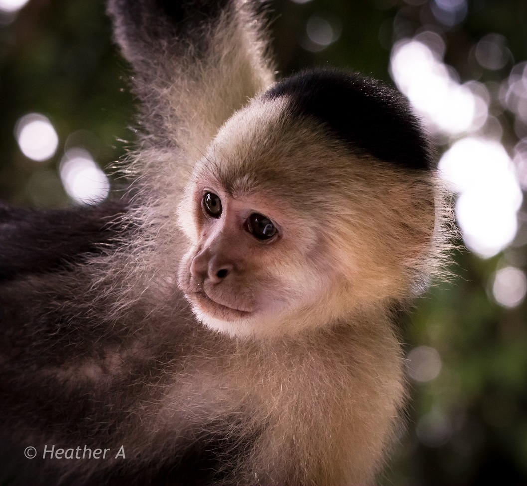 capuchin monkey, capuchin monkey photos, Panama wildlife, monkeys in Panama, Panama Canal