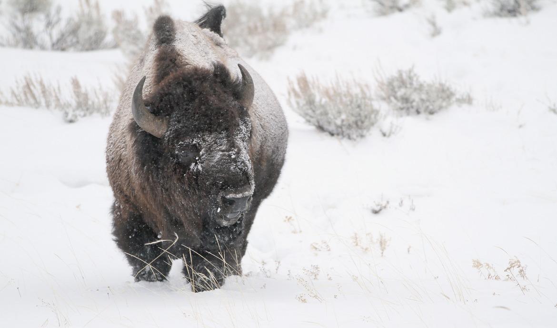Bison, buffalo, Yellowstone National Park, buffalo photography, bison photography, Yellowstone photography, buffalo pictures, winter in Yellowstone,