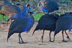 Vulturine Guineaflowl, Vulturine Guineaflowl photos, Kenya birds, birding in Kenya, Vulturine Guineaflowl in Kenya, guineafowl, guineafowl in Africa