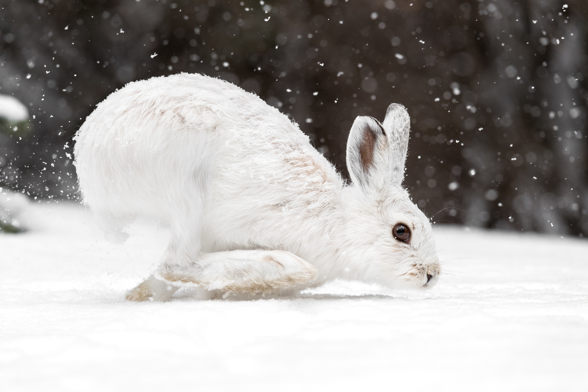 hare, hare photos, snowshoe hare, snowshoe hare photos, Colorado wildlife, rabbits in Colorado, hares in Colorado, white rabbits, white hares, white hares in Colorado, white rabbits in Colorado