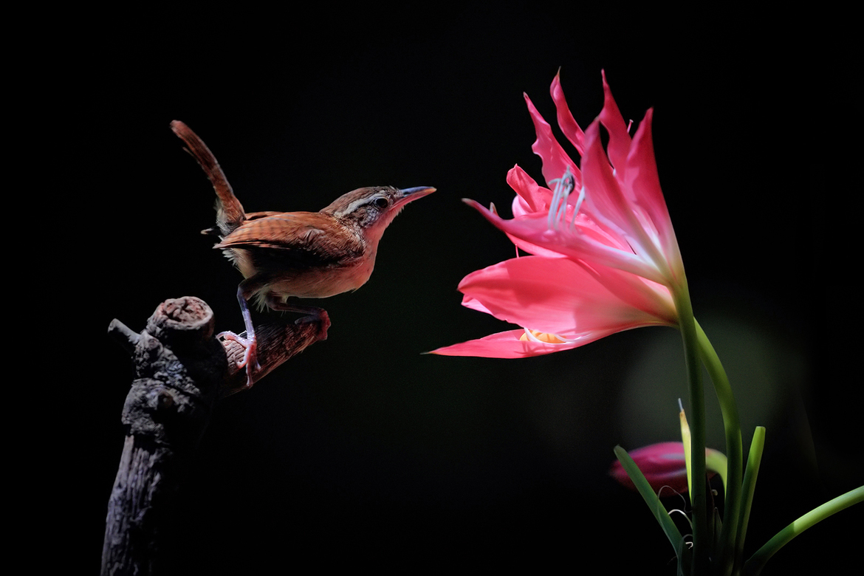 carolina wren, carolina wren photos, wrens, wren photos, wrens in Florida, carolina wrens in Florida, birding in Florida, birds with flowers