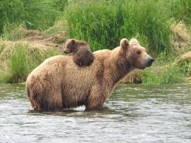 brown bear, grizzly bear, brown bear photos, grizzly bear images, Brooks Falls, Brooks Falls wildlife, united states wildlife photos, Alaska wildlife, Alaska bears, Alaska photos