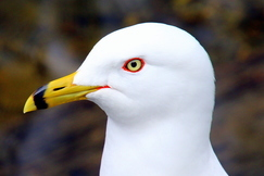 ring-billed gull, ring-billed gull photos, gulls in Canada, Canada birds, birding in Canada, Newfoundland birds