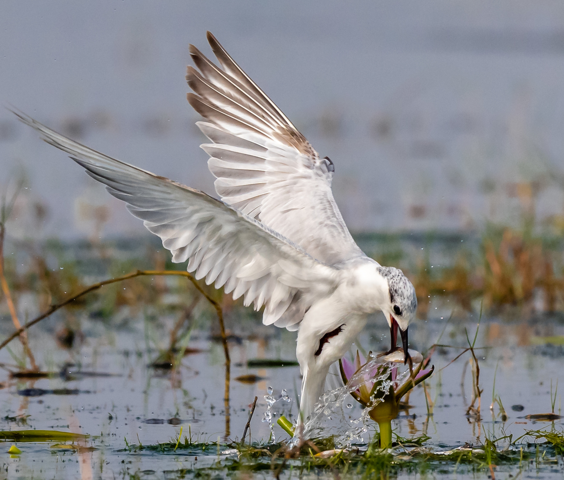 whiskered tern, whiskered tern photos, India birds, birding in India, terns in India, white tern, tern fishing, whiskered tern fishing, Orissa, Mangalajodi