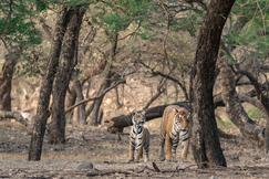 tiger photos, bengal tiger photos, tiger, bengal tiger, Ranthambore National Park, Ranthambore National Park wildlife, Ranthambore National Park wildlife photos, india wildlife, india wildlife photos