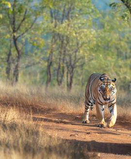 tiger photos, bengal tiger photos, tiger, bengal tiger, Tadoba Tiger Reserve, Tadoba Tiger Reserve wildlife, Tadoba Tiger Reserve wildlife photos, india wildlife, india wildlife photos