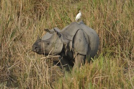 Rhinoceros, Rhino, India, India wildlife, Kaziranga National Park, one-horned rhino, rhino photography, india photography