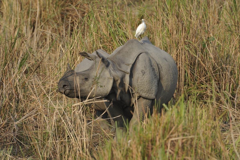 Rhinoceros, Rhino, India, India wildlife, Kaziranga National Park, one-horned rhino, rhino photography, india photography