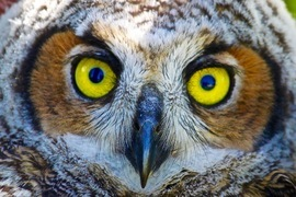 great horned owl, great horned owl photos, Tennessee wildlife, Tennessee birds