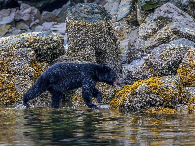 black bear, black bear photos, bears in US, photos of bears in US, Juneau, Alaska wildlife, Amalga Harbor