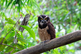 owl, owl photos, spectacled owl, spectacled owl photos, Costa Rica Wildlife, wildlife in Costa Rica, owls in Costa Rica, el salto