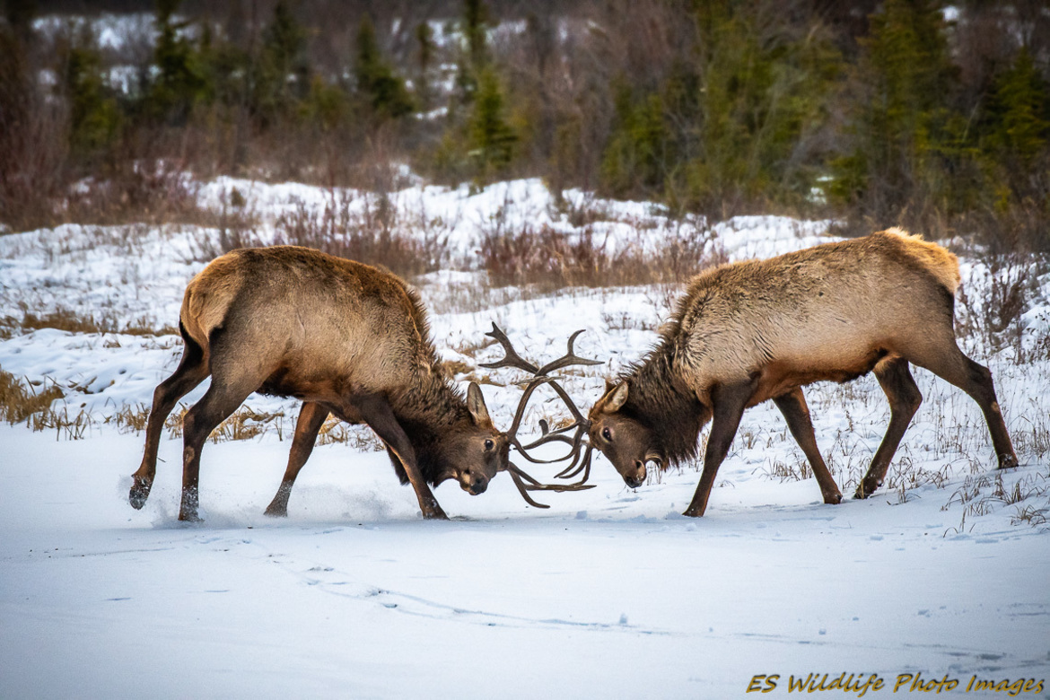 elk, elk photos, elk pictures, Canadian Rockies wildlife, Canadian elk, Canada wildlife, elk in Canada