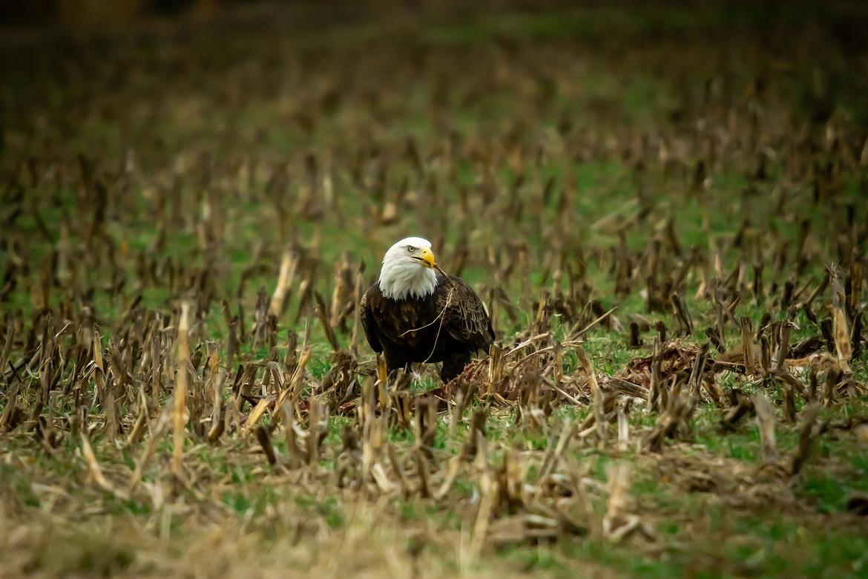 bald eagle, bald eagle photos, bald eagle images, united states wildlife, american wildlife photos, american birds, birds in the united states, bald eagles in america, America's national bird, birding in Missouri, Missouri wildlife
