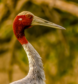 sarus crane, sarus crane photos, birding in India, birds in India, Indian birds, Keoladeo Ghana National Park