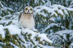 owl, owl photos, birds in Canada, owls in Canada, birding in Canada, short-eared owl, short-eared owl photos, Prince George, British Columbia, birding in BC