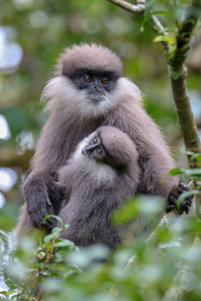 langur monkey, langur monkey photos, langur monkeys in Sri Lanka, Sri Lanka wildlife, India monkeys, Hakgala Botantical Gardens, Hakgala Botantical Gardens photos