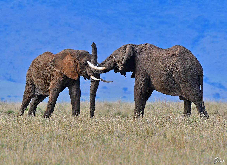 Elephants, Elephant, Kenya, Masai Mara, Africa Elephants, Images of Elephants, Elephant Photos