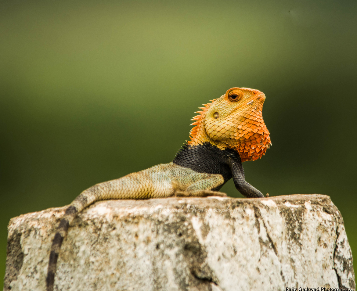 Lizards, Lizard, Tri Colored Lizard, Images of Lizards, India, Lizard Photos, Lizards in India