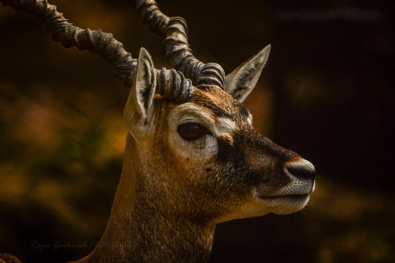 antelope, India wildlife, antelope in India