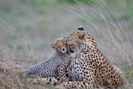 cheetah, cheetah photos, cheetah cub, cheetahs in Kenya, cheetahs in the Maasai Mara, Kenya wildlife, Maasai Mara wildlife