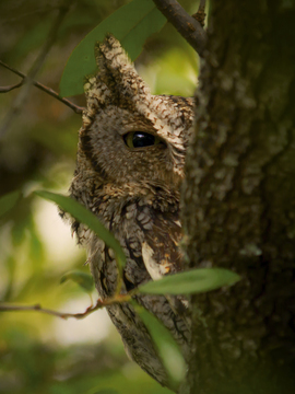 owl, owl photos, screech owl, screech owl photos, eastern screech owl, eastern screen owl photos, Texas birds, birding in Texas, owls in Texas, screech owls in Texas