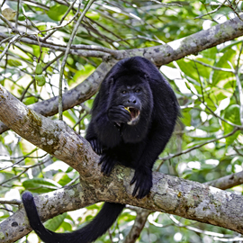 Grid howler male monkey