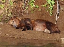 brown bear, grizzly bear, brown bear photos, grizzly bear images, Katmai National Park, Katmai National Park wildlife, united states wildlife photos, Alaska wildlife, Alaska bears, Alaska photos