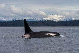 Whales, Orca, Orcas, Orca Whale, Alaska, Alaska Wildlife, Images of Orcas, Orca Whale Photos