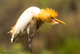 cattle egret, cattle egret photos, birding in India, birds in India, yellow and white birds in India, egrets in India