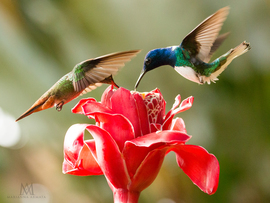 hummingbird, humming bird images, humming bird photos, united states wildlife, Costa Rica birds, Costa Rica birds, Costa Rica wildlife, Rufus-tailed hummingbird, White-necked Jacobin hummingbird